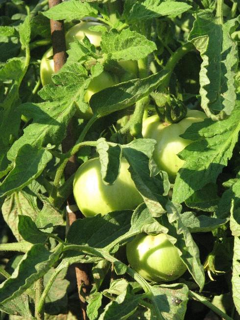 din gradina de legume (4)